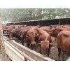 山西种牛价格23000元