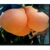 平和三红柚子苗|福建正宗三红蜜柚苗