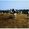 澳大利亚畜牧厂  马老师