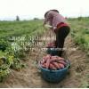 湖南红薯批发,衡阳红薯价格