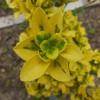 销售红枫种苗新品种黄金甲,对比相近品种北海道黄杨