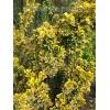 彩叶北海道黄杨黄金甲、红枫种苗(在线咨询)、北海道黄杨