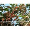 冬红北海道黄杨、红枫种苗(在线咨询)、北海道黄杨种苗