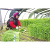 叶菜类控旺专用好农药叶面肥
