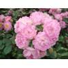 红花玫瑰苗木,丛生玫瑰花,从生山萸肉_条条大道网