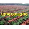 陕西大荔万亩优质红萝卜产地批发大量上市