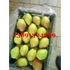 陕西万吨冷库红香酥梨产地价格,冷库红香酥梨出库中