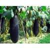 优质杂交冬瓜种子 特大黑皮冬瓜种子