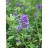 路蒸种子,紫花苜蓿种子
