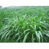 大刍草种子,墨西哥玉米草种子