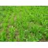 牧草种子,咖啡草种子,菊苣种子
