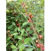 水果种苗,果树苗,补钙之星,山梅子种苗,钙果种苗,中华钙果