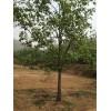 供应河北保定各种规格柿子树 价格合理 包上车