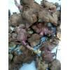 雪莲果种根  种植新项目雪莲果