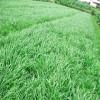 黑麦草种子 适口性好,为各种家畜所喜食