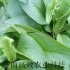 高蛋白俄罗斯饲料菜种根 种子 牧草种子 荠菜种子