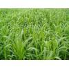 墨西哥玉米草种子优12玉米草种子