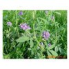 进口紫花苜蓿种子技术 进口紫花苜蓿图片