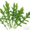 芝麻菜是一种无公害环保蔬菜种子