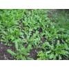 优质保健蔬菜种子优质野菜大叶荠菜种子
