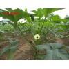 补肾菜种子 黄秋葵种子
