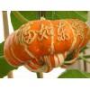 香炉瓜种子,观赏玩具南瓜种子