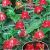 观赏辣椒种子袋装, 优质南瓜椒种子批发