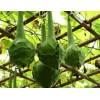观赏葫芦种子直径8厘米,高40-60厘米