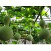 葫芦娃种子单果重1-1.5公斤