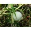 鸡蛋葫芦能吃吗