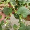 优质袖珍葫芦种子种植基地 优质手捻葫芦种子价格