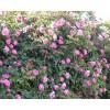 平凉蔷薇-供应平凉蔷薇_绿化苗木种植基地
