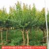 紫薇树四季常青风景树园林景观漳州基地直销