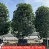 供应桂花树庭院小区种植浓香花卉漳州基地直销