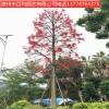 澳洲火焰木庭院种植风景树园林景观漳州基地直销