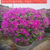 三角梅盆景花卉庭院园林街道种植漳州基地直销