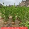 石榴树喜庆吉祥花庭院种植漳州基地直销