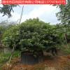 供应杨梅树基地直销多规格供应量大从优