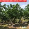 供应柚子树漳州基地直销多规格供应