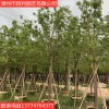 香樟树绿化苗木供应基地直销量大从优