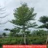 小叶榄仁庭院绿化遮阴树漳州基地直销量大从优多规格供应