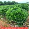 供应大量非洲茉莉球自己基地种植量大优惠