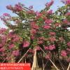 供应红花紫荆自家基地直销多规格供应量大从优