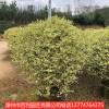 银基小蜡庭院花园种植漳州基地直销多规格供应