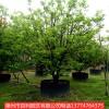 供应香泡树量大从优多规格供应漳州基地直销