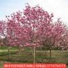 紫玉兰耐寒植物漳州基地直销多规格供应量大从优