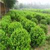 哈密市供应营养钵卫矛  营养钵卫矛绿化苗木种植基地